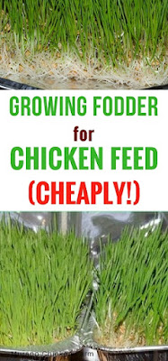 growing fodder | chickens