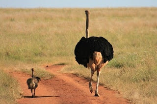 facts about ostrich in hindi  | शुतुरमुर्ग के बारे में कुछ तथ्य
