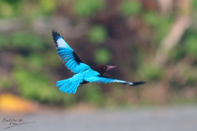 White-throated Kingfisher - fly off
