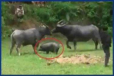 Büffel und Schweine