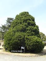Chinese juniper - Kyoto Botanical Gardens, Japan
