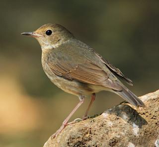 Burung berkecet biru siberia atau siberian blue robin