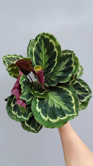Calathea medallion from Peace, Love, and Happiness Club