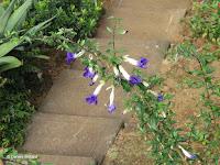 White-blue trumpet flowers - Botanical garden north of Hilo, Hawaii