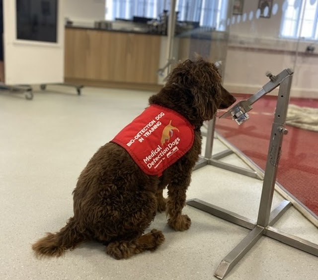 Cachorros são treinados para sentir o cheiro da Covid-19 em pessoas assintomáticas