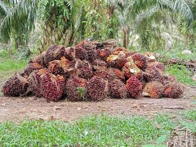 Harga Tbs Sawit Riau
