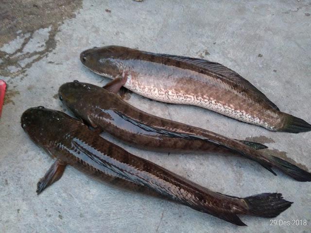 ikan gabus jantan betina