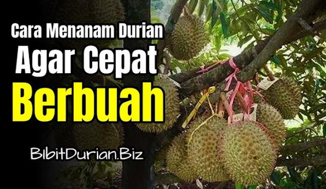 Cara Menanam Durian Yang Benar Sesuai SOP