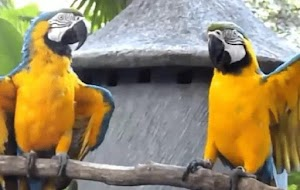 How to Maintain Macaws for Beginners