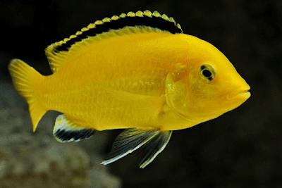 Ikan Lemon