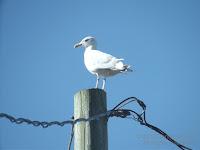 Herring gull on post, PEI, Canada - © Denise Motard