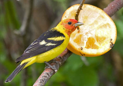 Photo of a Western Tanager feeding on an orange