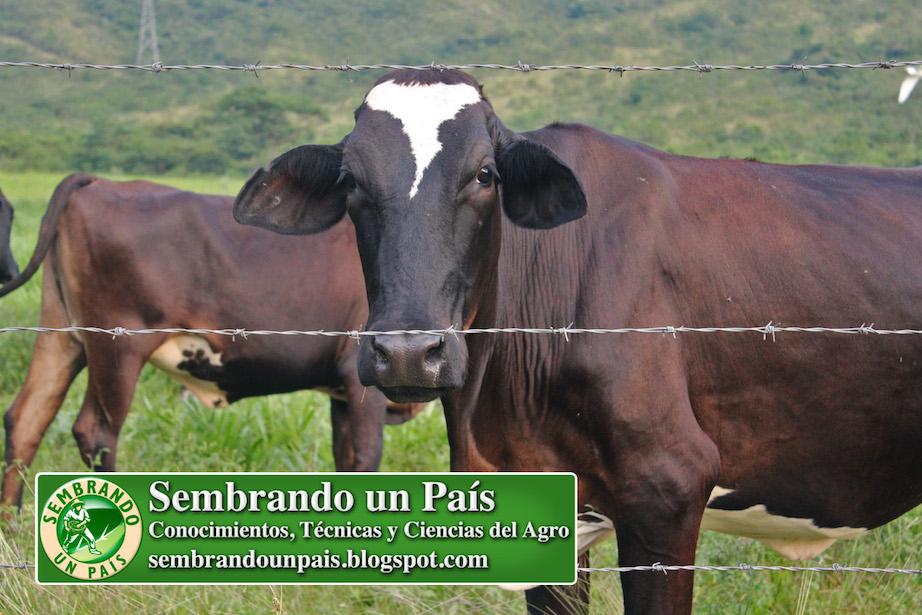 vaca tras la cerca
