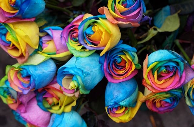 Karakter yang anggun tergambar dari kesukaan akan mawar pelangi paradise