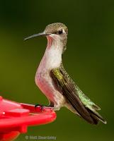 Ruby-throated hummingbird male immature, by Matt Beardsley