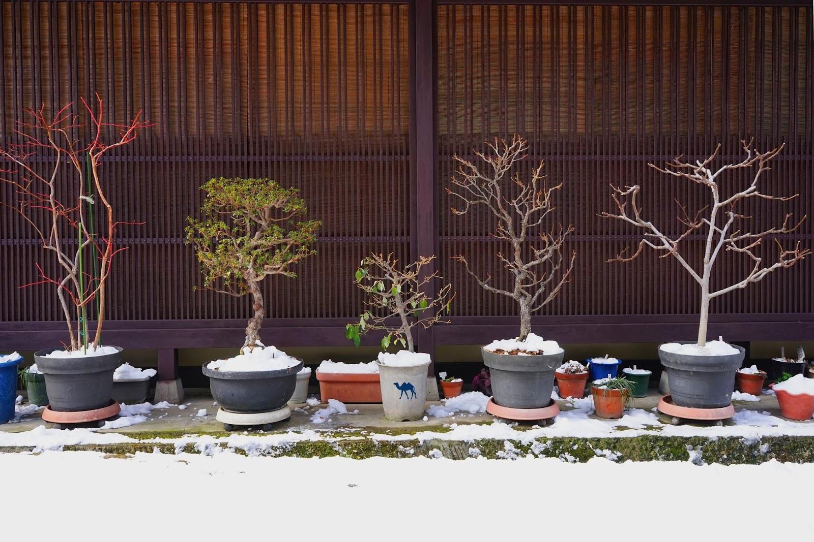 Bonsai de Takayama - Le Chameau Bleu
