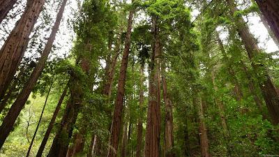 Redwood: A Student Poem