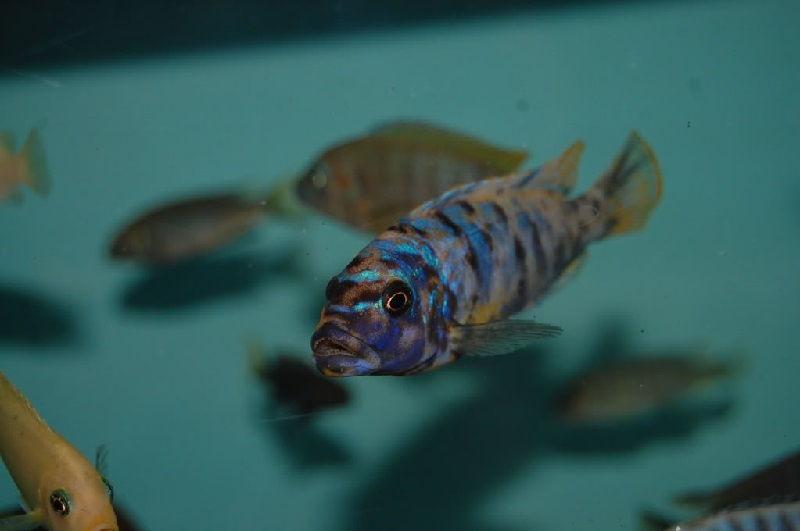 Ikan Zebra Tilapia