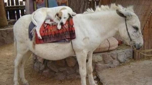 الحكومة المصرية تعلن موافقتها على تصدير حمير للصين و تصدير كلاب لكوريا