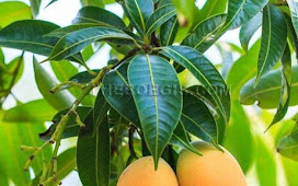Benefits of Mango Leaf for Diabetes Health and medication