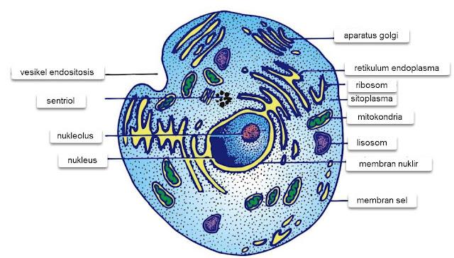 Gambar 1. Sel Eukariotik, Sejumlah organel yang terikat membran ditemukan dalam sitoplasma sel eukariotik.