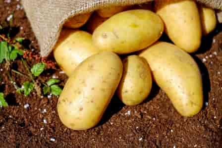 Potato during pregnancy