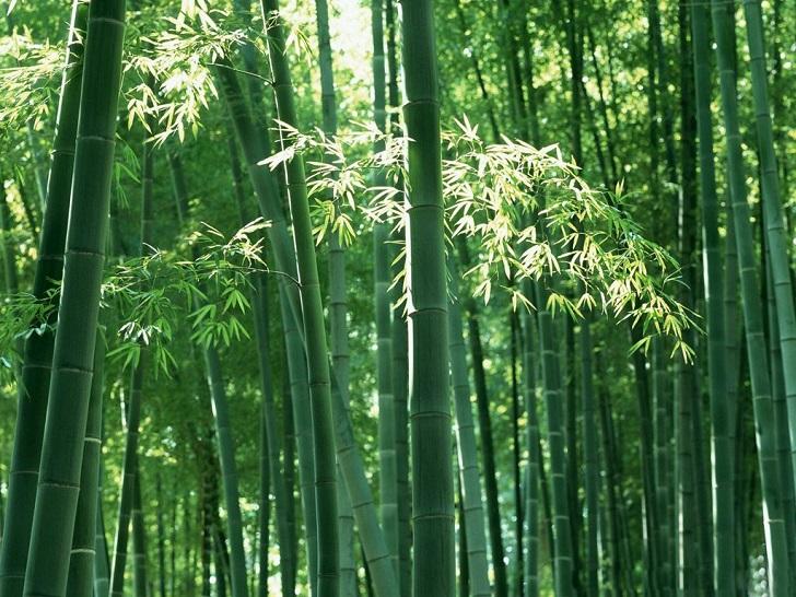 Ternyata, Pohon Bambu adalah Rumput Tertinggi di Dunia, naviri.org, Naviri Magazine, naviri