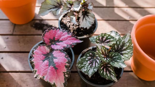 tanaman hias, begonia