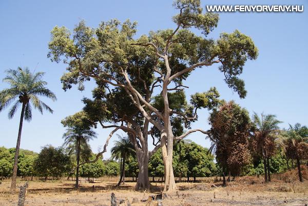 Óriás sziszegőfa, amely senkit sem bánt, de bárkit meggyógyít