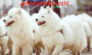 معلومات عن كلب سانت برنارد