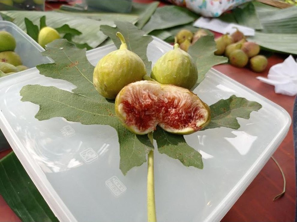bibit buah tin ara fresh cangkok jenis LDA Solok
