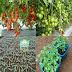 Hasilkan uang dari penanaman bibit tomat | DuniaSaja.com