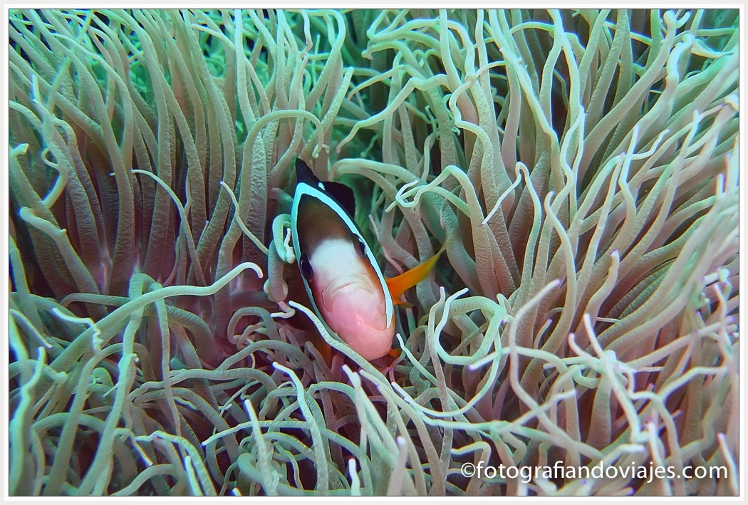 Buceo en Layang Layang en Malaysia. pez payaso