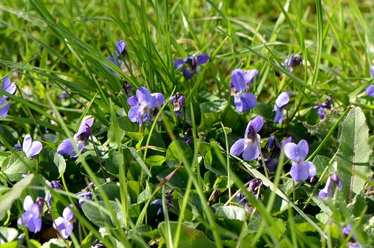 Violette (Viola)