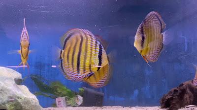 Harga Ikan Discus Heckel