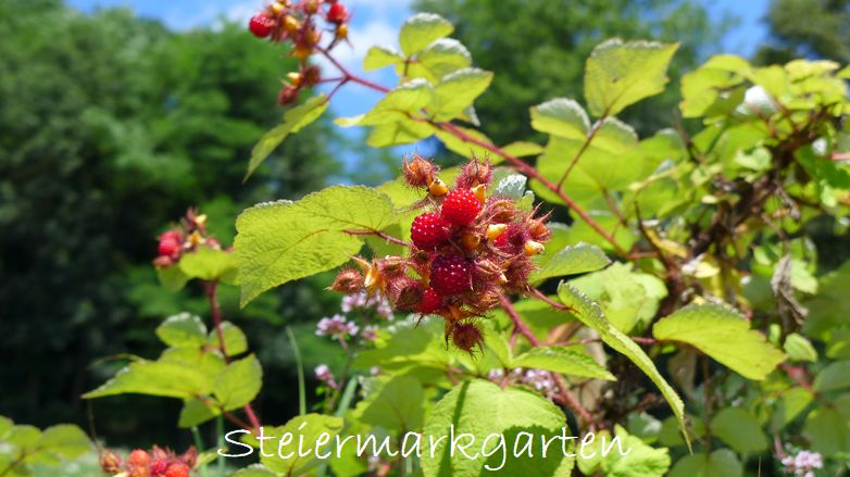 Japanische-Weinbeere-Steiermarkgarten
