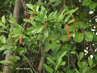 Small orange fruit clusters - Ho'omaluhia Botanical Garden, Kaneohe, HI