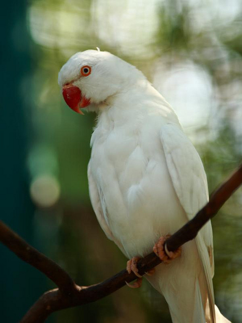 Ringneck Parrot | A-Z List of 125 Rare Albino Animals [Pics]