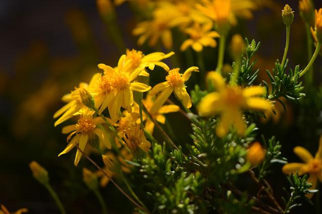 chrysactinia mexicana, damianita, plant selection, small sunny garden, desert garden, amy myers, photography, about the garden,