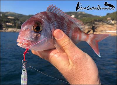 pargo graphiteleader nuovo tiro major craft jigpara tg pesca costa brava jjpescasport - JORNADA DE MICRO JIGGING