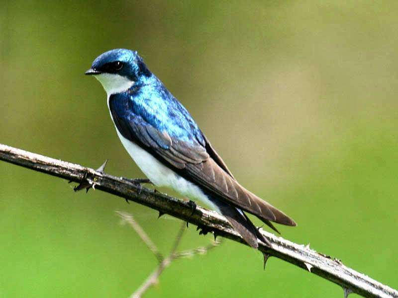 Tree Swallow Facts 9