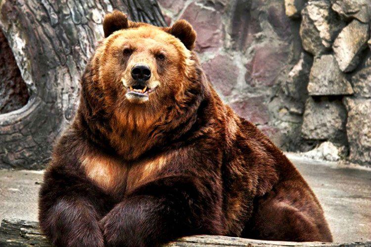 Dünyada sadece 8 çeşit ayı vardır ve bunlar dünyanın her yerine yayılmıştır.