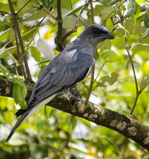 Indian birds - Photo of Large cuckooshrike - Coracina macei