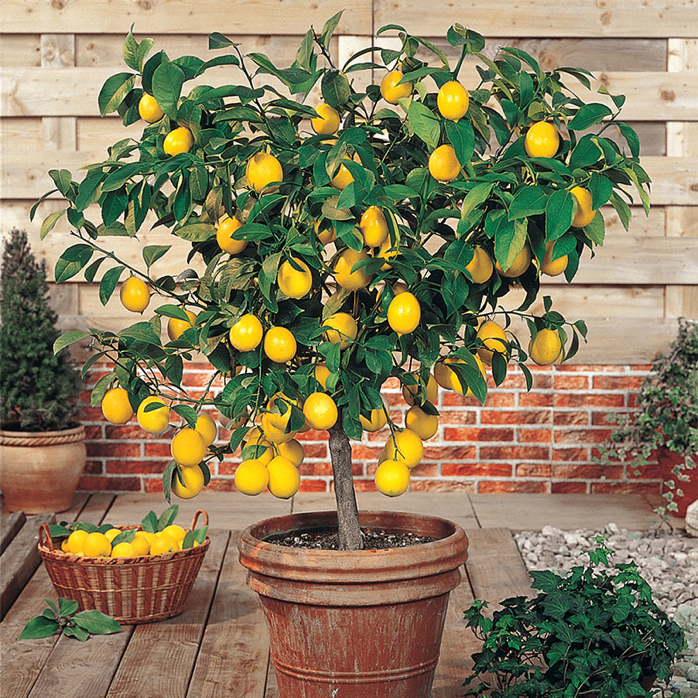 How To Care For Your Lemon Tree Indoors During The Winter- design addict mom
