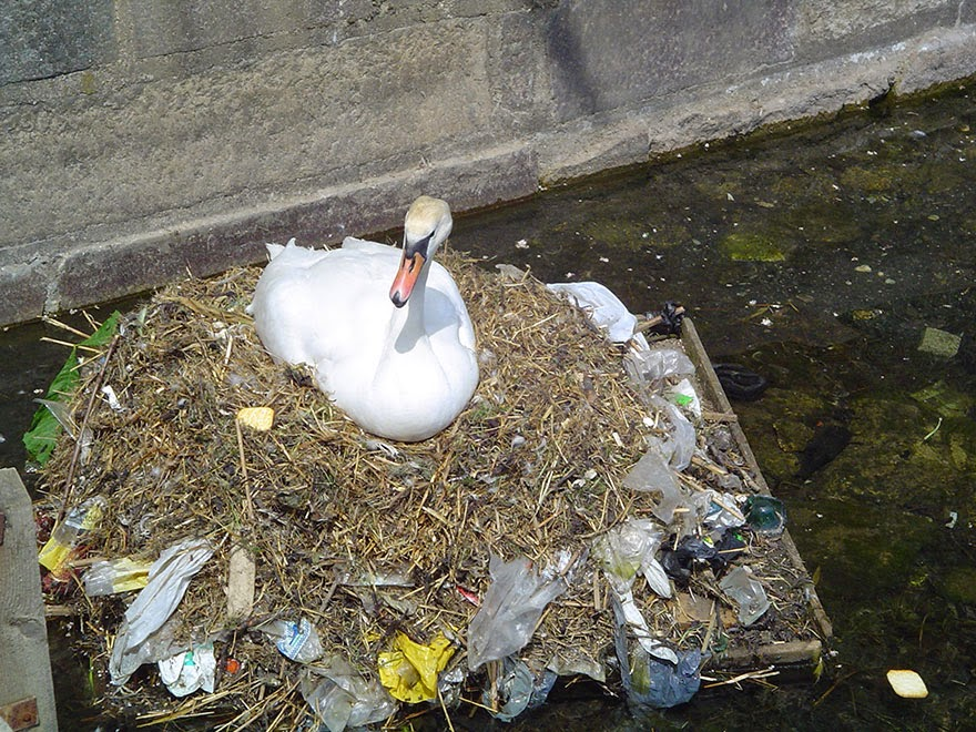 You Will Want To Recycle Everything After Seeing These Photos! - A Mute Swan Builds A Nest Using Plastic Garbage