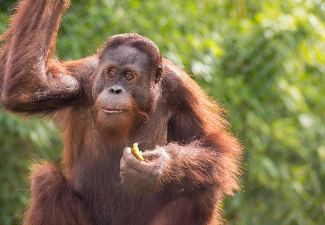 Penelitian An Orangutan Hangs Up a Tool for Future Use