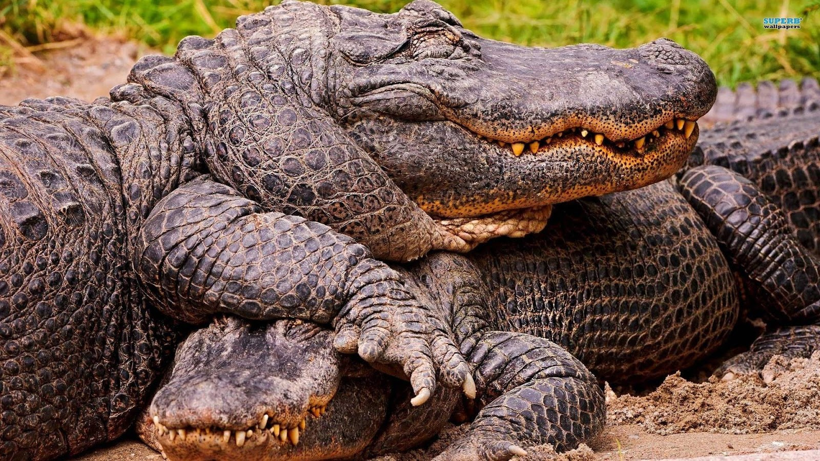 Alligator wallpapers picture