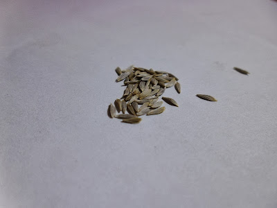 Nevada Lettuce Seeds