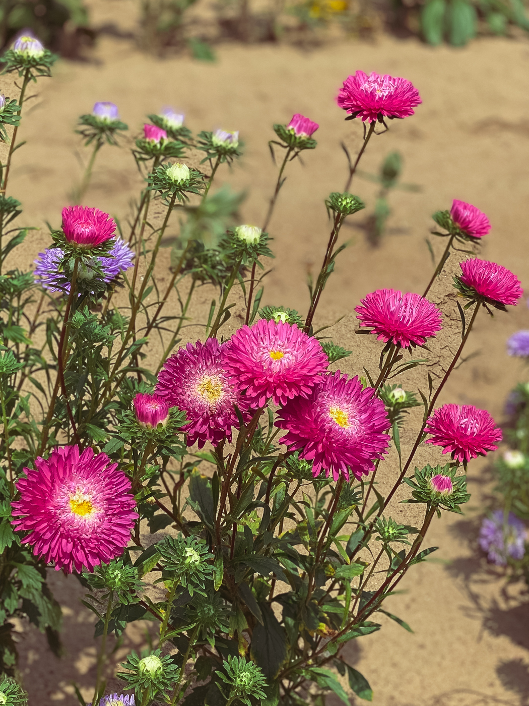 China aster matsumoto mix, summer garden flowers, blooming flowers, summer flowers that bloom