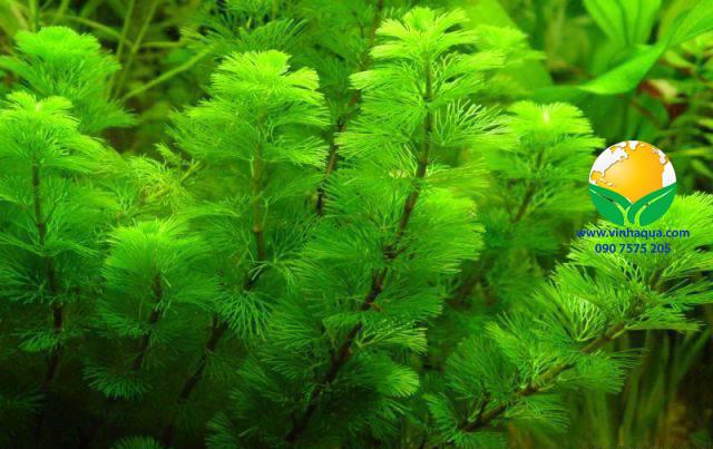 Phụ kiện thủy sinh - cây la hán xanh